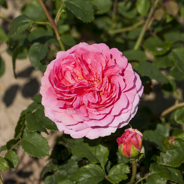 Davis Austen Ruusu 'Princess Alexandra of Kent', Ø21 cm, Pinkki