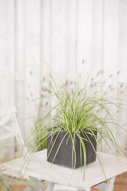 Oshimansara, Korkeus 40 cm, Vihreä