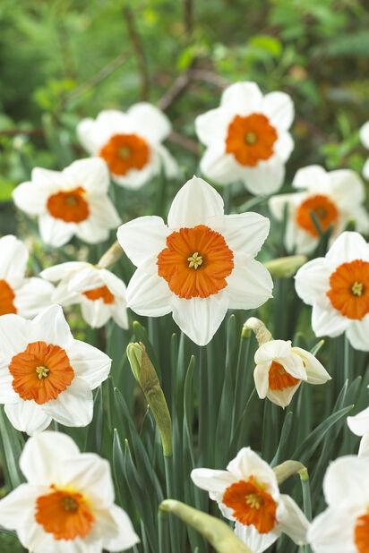 Narcissus 'Prof Einstein', Valkoinen
