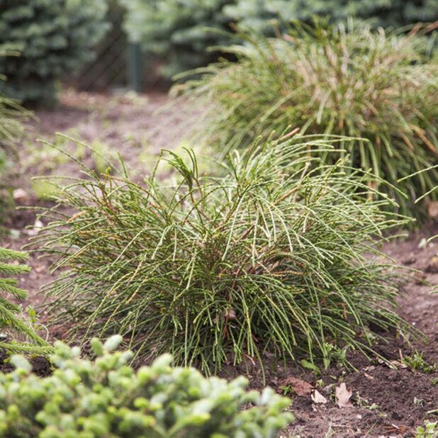 Jättituija 'Whipcord', Korkeus 30 cm, Vihreä