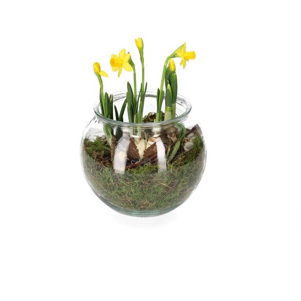 Pääsiäisistutus narsisseista, Korkeus 15 cm, Keltainen
