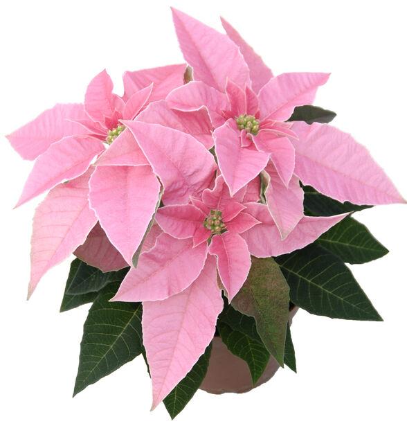 Joulutähti 'Princettia' 12 cm pinkki glitterillä