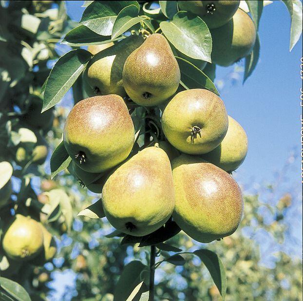 Päärynä 'Pepi', Korkeus 180 cm, Vihreä