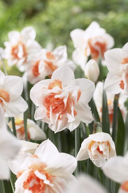 Narcissus 'Replete', Monivärinen
