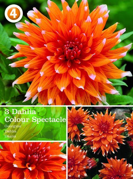 Kaktusdaalia 'Colour Spectacle', Oranssi