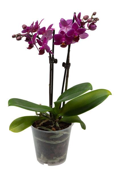 Perhosorkidea 15+ kukkaa