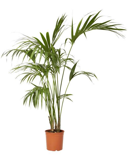 Howea 'Forsteriana' 24 cm