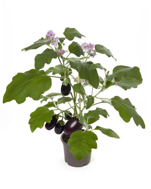Munakoiso , Ø14 cm, Violetti