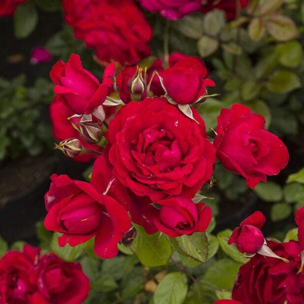 Punainen runkoruusu , Korkeus 60-80 cm, Punainen