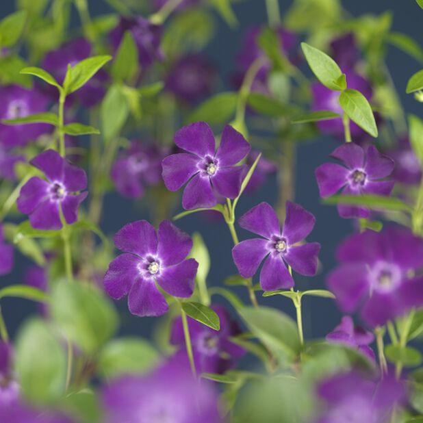 Pikkutalvio 'Atropurpurea', Korkeus 15 cm, Violetti
