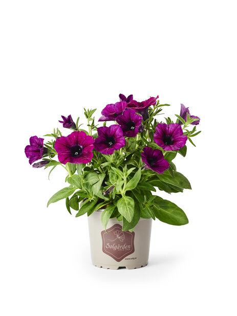 Petunia, Ø12 cm, Violetti