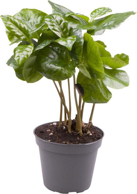 Minikokoinen kahvipensas, Korkeus 10 cm, Vihreä