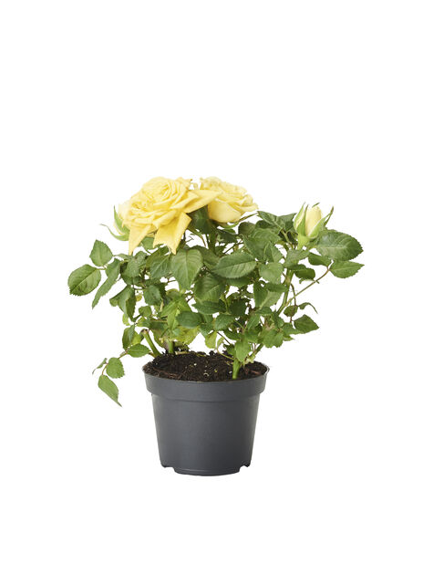 Rosa Kordana yellow 6 cm