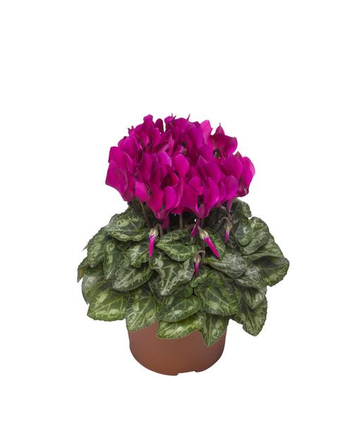 Syklaami, Ø10.5 cm, Violetti
