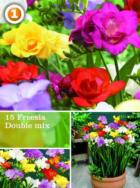 Freesia double mix, Monivärinen