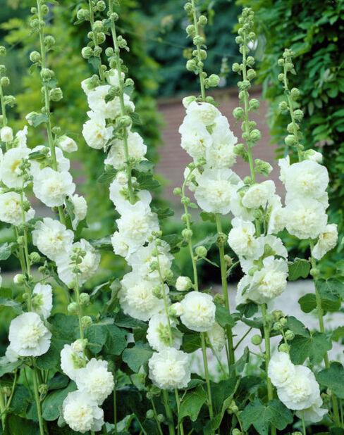 Tarhasalkoruusu, Ø11 cm, Valkoinen