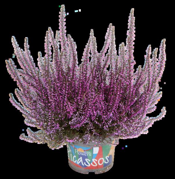 Aitokanerva värjätty, Ø12 cm, Violetti