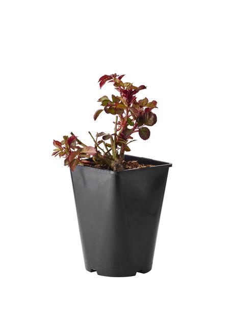 Ryhmäruusu 'Europeana', Ø19 cm, Punainen