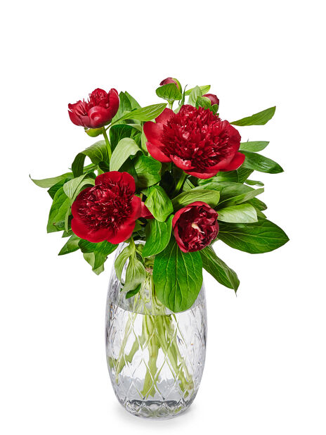Paeonia 5pk Sarah Bernhardt