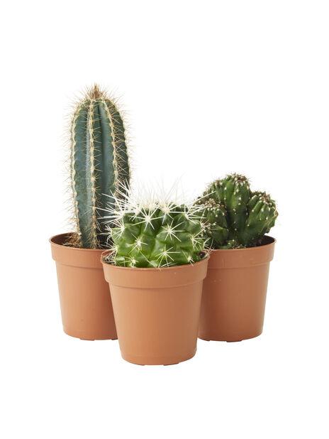 Cactus in varieties 6cm