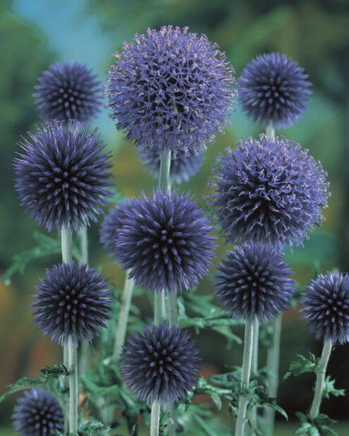 Sinipallo-ohdake, Korkeus 15 cm, Sininen