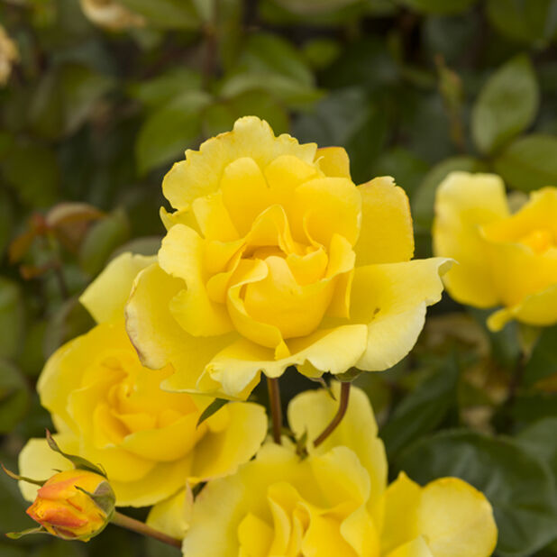 Köynnösruusu 'Golden Climber' , Korkeus 25 cm, Keltainen