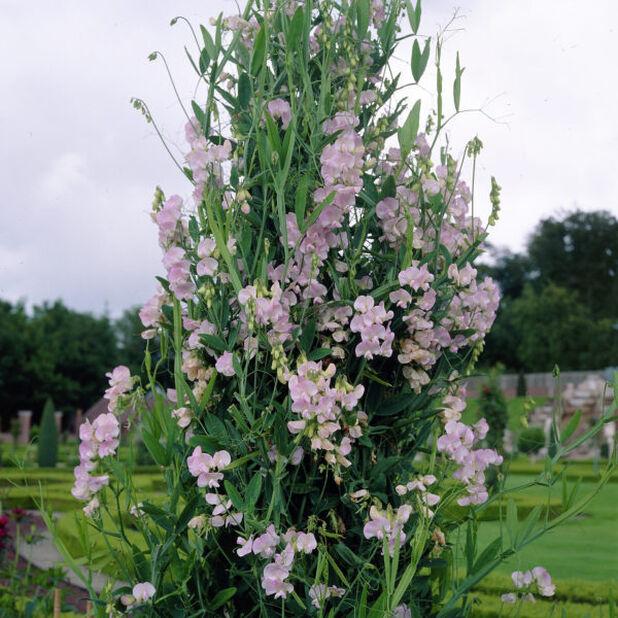 Ruusunätkelmä, Ø11 cm, Pinkki