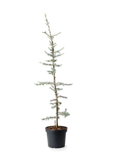 Libanoninsetri, Korkeus 120 cm, Sininen