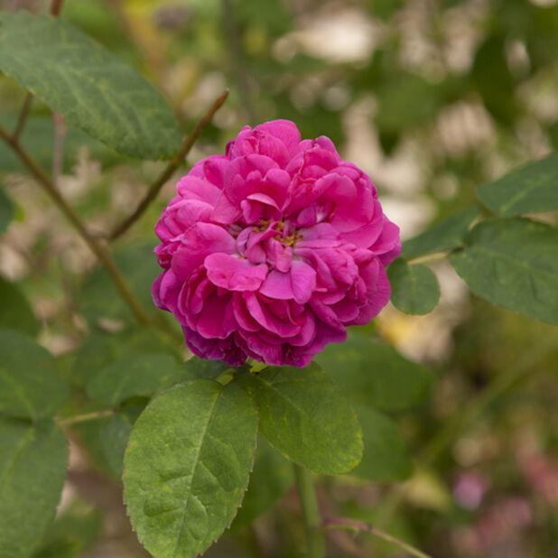 Pensasruusu 'Rose de Rescht' , Ø19 cm, Punainen