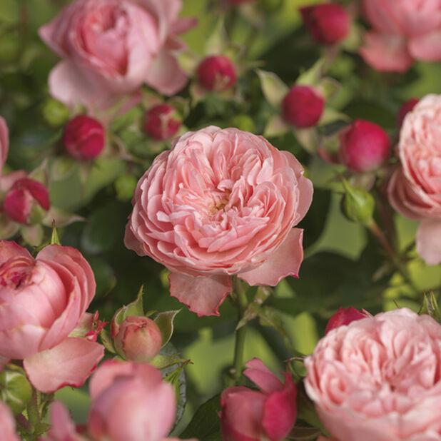 Ruusu Meilove 4L roosa