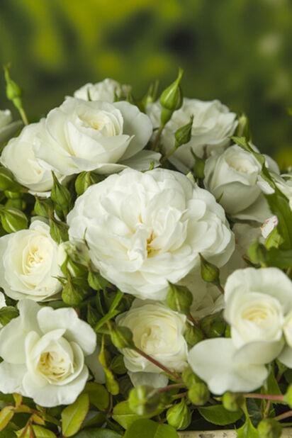 Runkoruusu, Korkeus 60 cm, Valkoinen