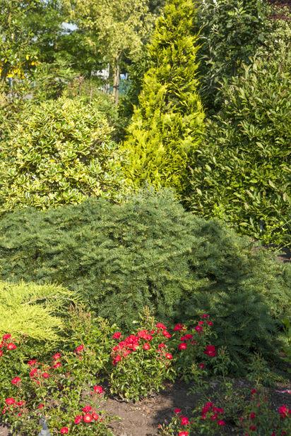 Euroopanmarjakuusi, Korkeus 25 cm, Vihreä
