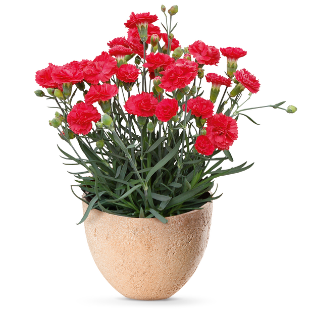 Dianthus caryophyllus 12 cm