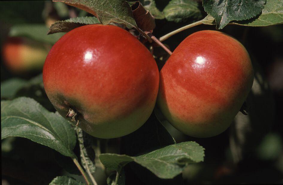 Syysomena kääpiöivä 'Punakaneli', Korkeus 180 cm, Punainen