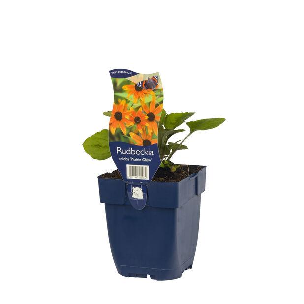 Silmäpäivänhattu 'Prairie Glow', Korkeus 15 cm, Oranssi
