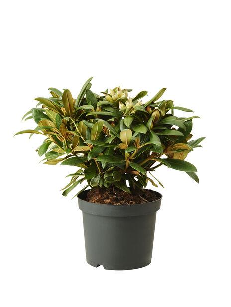 Yakushimanalppiruusu 'Polaris', Ø21 cm, Pinkki