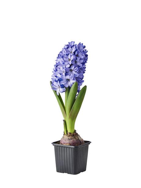 Hyasintti, Ø7 cm, Sininen