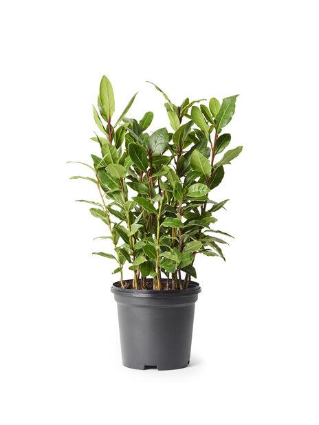 Laakeripuu, Ø10.5 cm, Vihreä