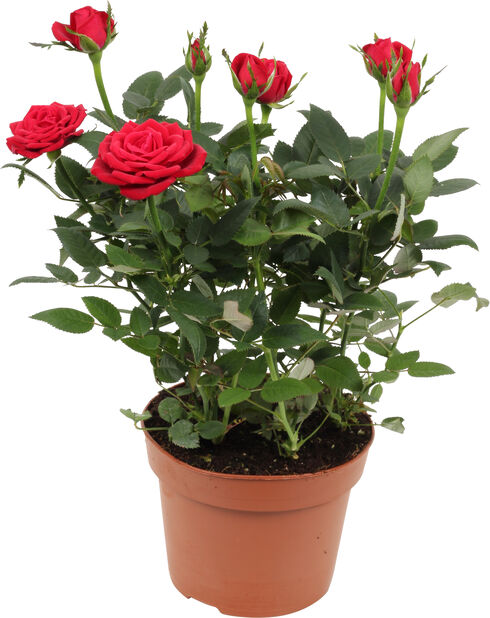 Ruukkuruusu, Korkeus 30 cm, Punainen
