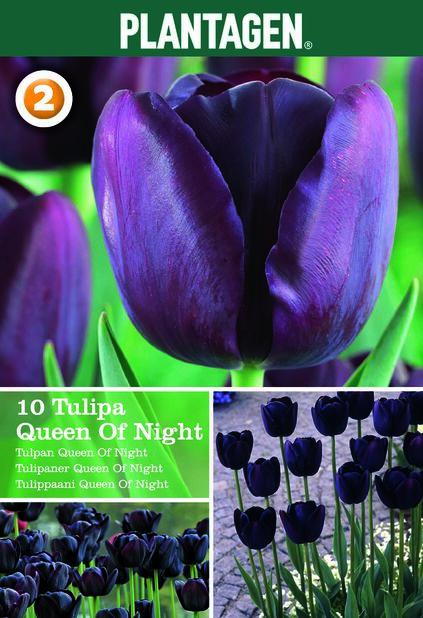 Tulppaani 'Queen Of Night', Useita värejä
