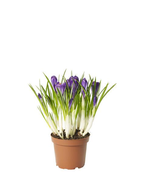 Crocus 'Flower Record' 12 cm