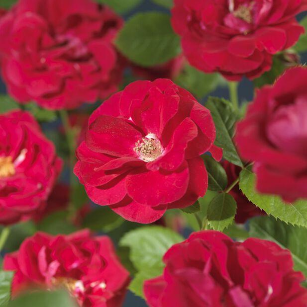 Loistoköynnösruusu 'Flammentanz', Korkeus 100 cm, Punainen