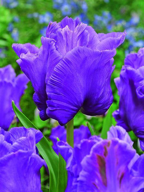 Tulppaani 'Blue Parrot', Useita värejä