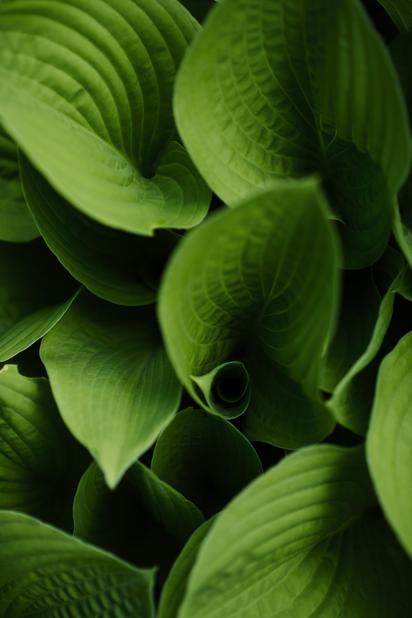 Jalokuunlilja, Korkeus 15 cm, Vihreä