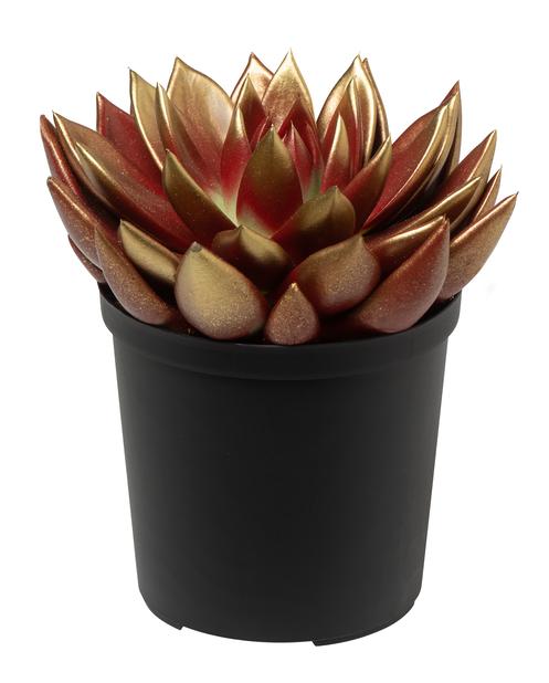 Mehikasvi mix, Korkeus 18 cm, Useita värejä