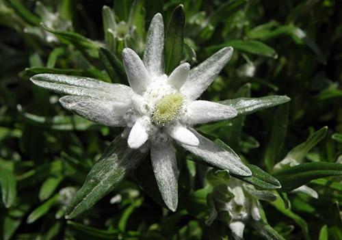 alppitähden kukka