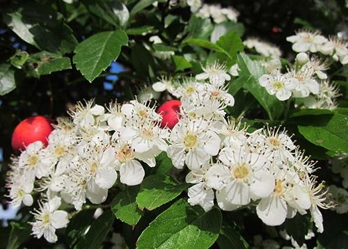 Orapihlajan kukka
