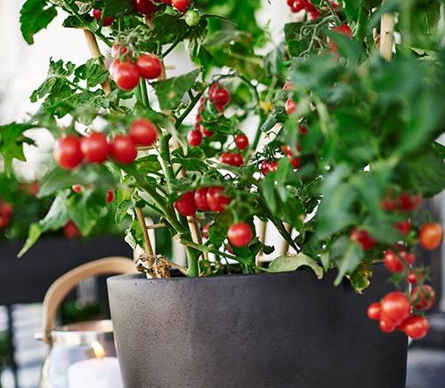Tomaattiruukku