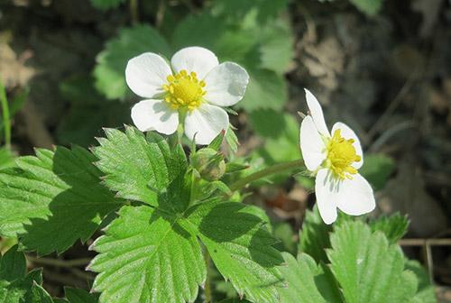 Ahomansikka kukka