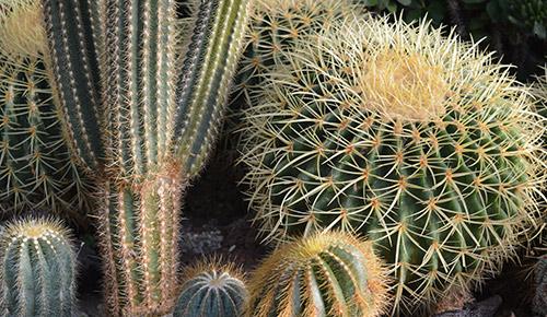 Kaktus lajikkeet